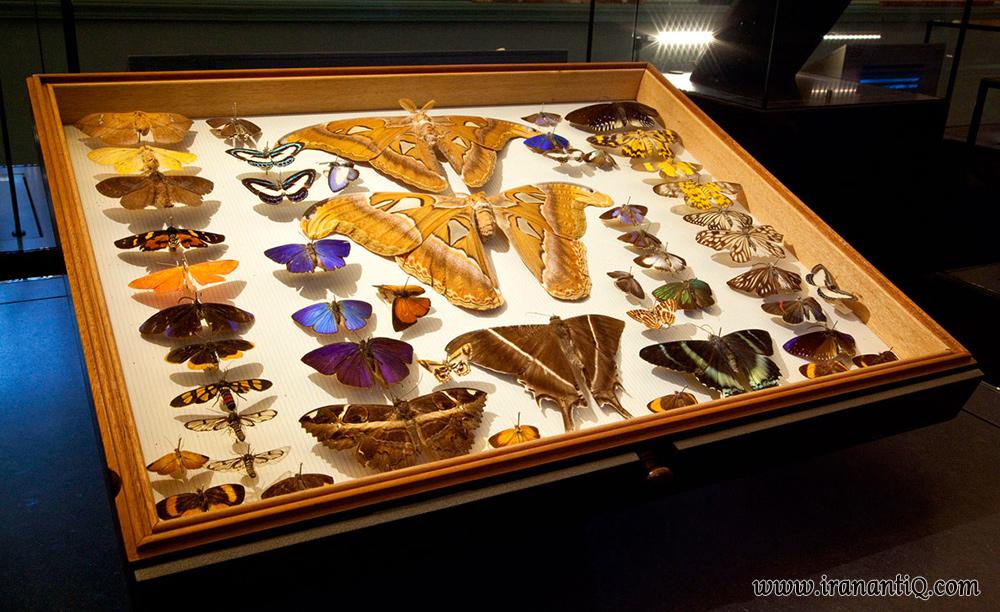 جعبه کلکسیون پروانه ، موزه تاریخ طبیعی لندن