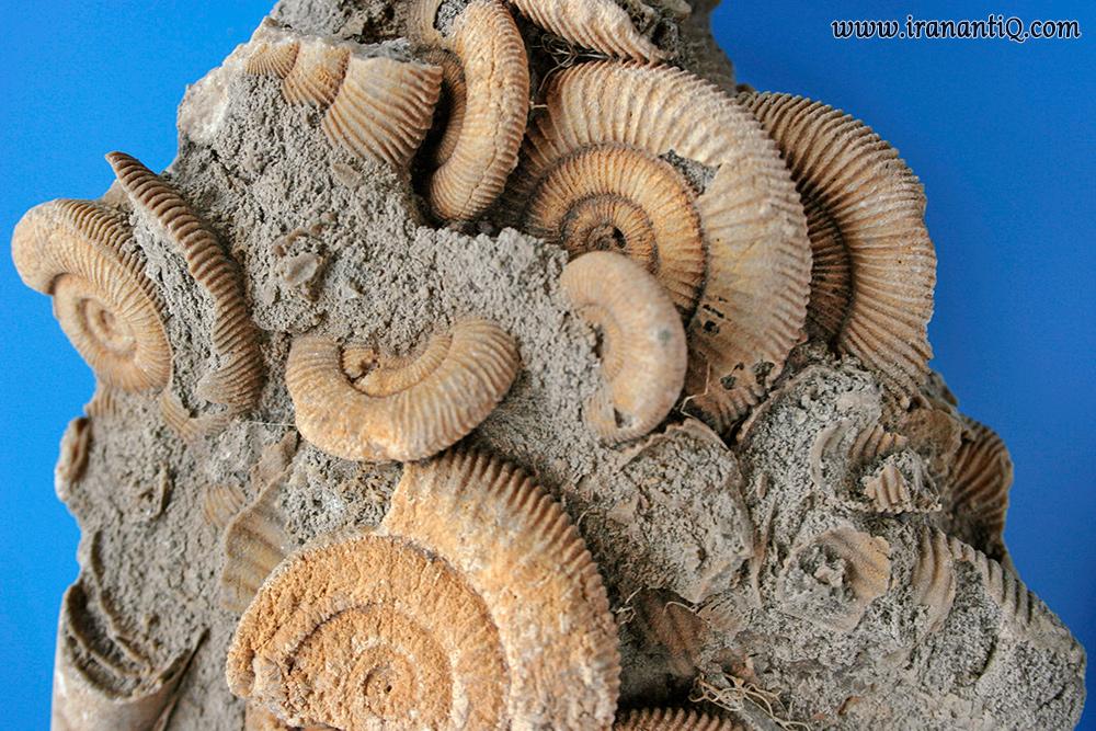 سنگ آهک فسیل دار مملو از فسیل آمونیت